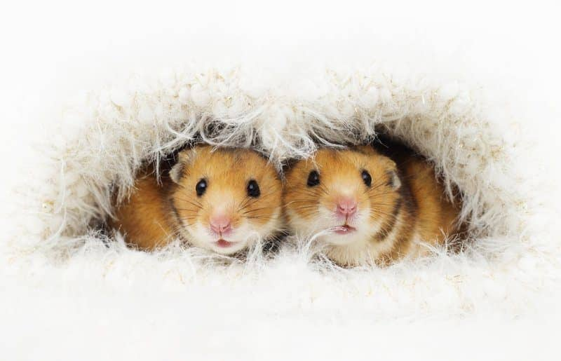 Healthy and Safe Food Types For Hamsters