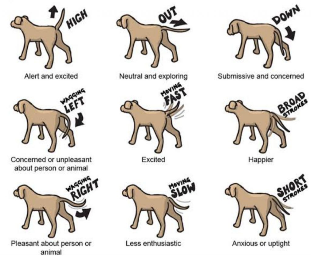 Meaning of Dog Tail Movement