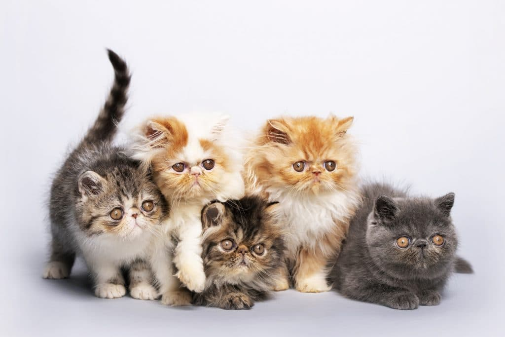 Updated Persian Cat Prices