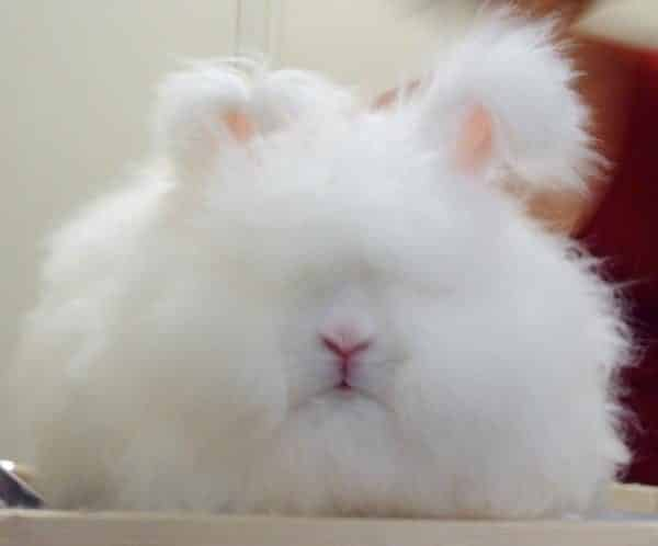 Angora rabbit breeds German