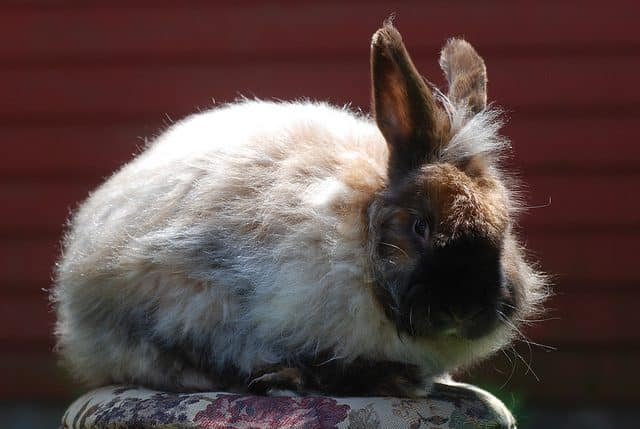 Angora rabbit breeds Satin