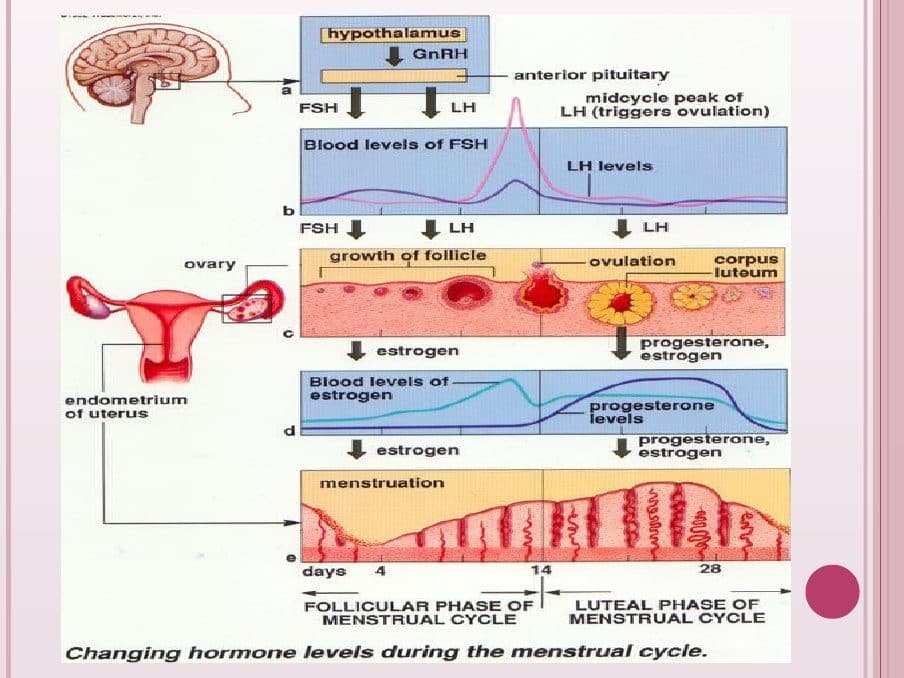 Menstrual Cycles And Phases