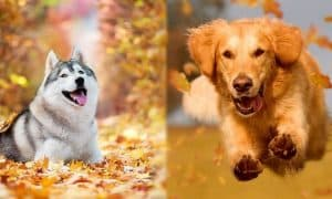 Golden Retriever Vs Siberian Haskey