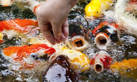 How to Care for and Maintain Koi Fish