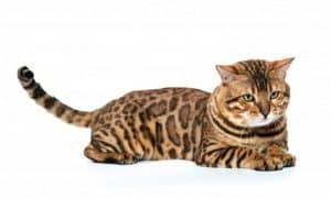 Physical and Personality Traits of Bengal Cats, Bobcat Breeds